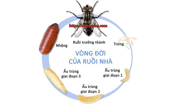 Vòng đời sinh sản của loài ruồi