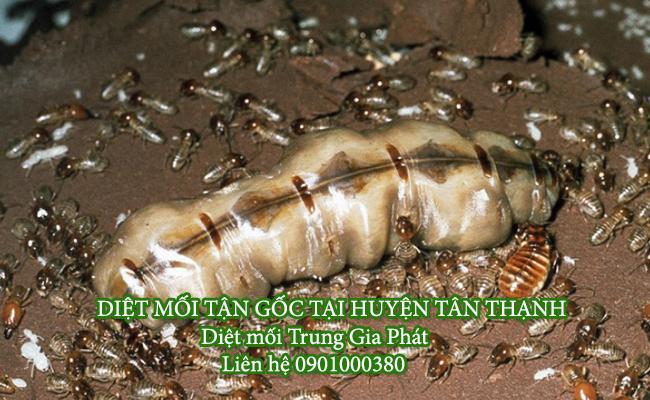 Dịch vụ diệt mối huyện Tân Thạnh chuyên nghiệp uy tín